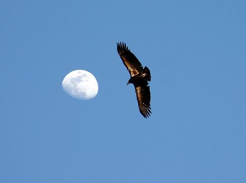 california-condor-rarest-bird-of-prey